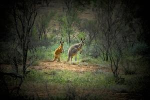 Australia, New South Wales, Broken Hill. a Red and Grey Kangaroo by Rona Schwarz