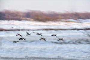 Canada Geese in Flight over Frozen Wetlands, West Lafayette, Indiana by Rona Schwarz