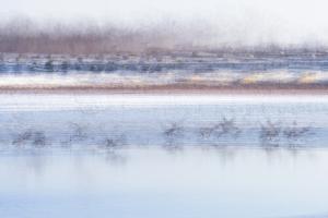 Canada Geese Preparing to Take Flight, West Lafayette, Indiana by Rona Schwarz