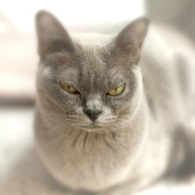 Close Up of a Blue American Burmese Cat by Rona Schwarz
