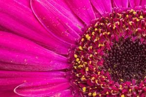 Close Up of a Gerber Daisy Showing Center and Petals with Pollen by Rona Schwarz
