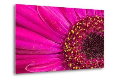 Close Up of a Gerber Daisy Showing Center and Petals with Pollen