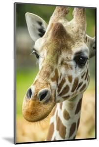 Close-up of a Reticulated Giraffe at the Jacksonville Zoo by Rona Schwarz