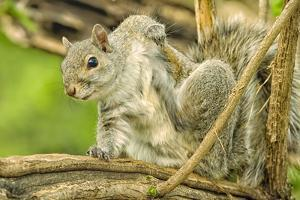 Close Up of an Eastern Gray Squirrel Scratching Itself on Branch by Rona Schwarz