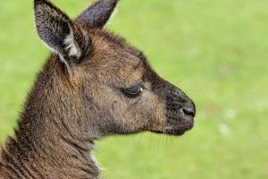 Close Up or Portrait of Wallaby by Rona Schwarz