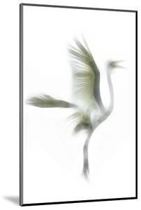 Great Egret in Flight, Digitally Altered by Rona Schwarz