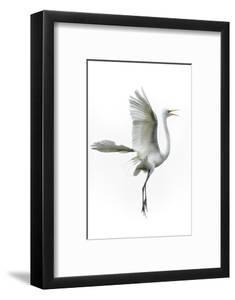 Great Egret in Flight Returning to Nest by Rona Schwarz