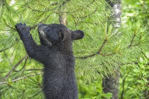 Minnesota, Minnesota Wildlife Connection. Black Bear Cub in a Pine by Rona Schwarz