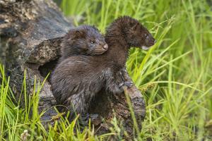 Minnesota, Minnesota Wildlife Connection. Mink Kits in Log by Rona Schwarz