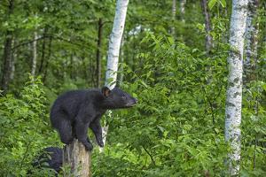 Minnesota, Sandstone, Black Bear Cub on Tree Stump by Rona Schwarz
