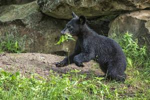 Minnesota, Sandstone, Black Bear Cub with Leaf in Mouth by Rona Schwarz