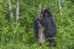 Minnesota, Sandstone, Black Bear Cub with Mother Climbing Tree Trunk by Rona Schwarz