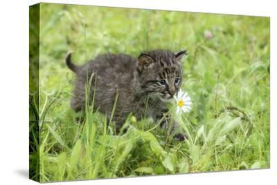 Minnesota, Sandstone, Bobcat Kitten in Spring Grasses with Daisy