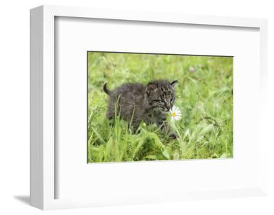 Minnesota, Sandstone, Bobcat Kitten in Spring Grasses with Daisy