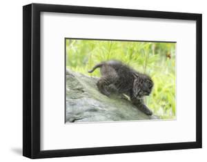 Minnesota, Sandstone, Bobcat Kitten on Top of Log in Spring Grasses by Rona Schwarz