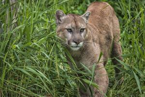 Minnesota, Sandstone, Minnesota Connection. Cougar on the Prowl by Rona Schwarz