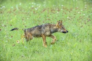 Minnesota, Sandstone, Minnesota Connection. Grey Wolf Pup Hunting by Rona Schwarz