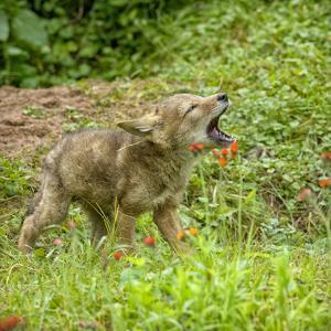 Minnesota, Sandstone, Minnesota Wildlife Connection. Coyote Howling by Rona Schwarz