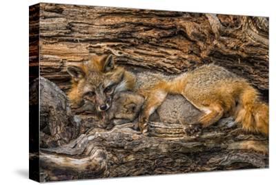 Minnesota, Sandstone, Minnesota Wildlife Connection. Grey Fox and Kit by Rona Schwarz