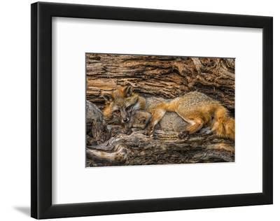 Minnesota, Sandstone, Minnesota Wildlife Connection. Grey Fox and Kit