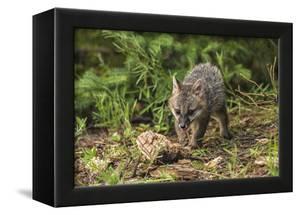 Minnesota, Sandstone, Minnesota Wildlife Connection. Grey Fox Kit by Rona Schwarz