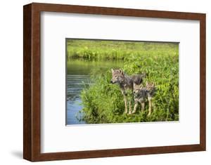 Minnesota, Sandstone, Minnesota Wildlife Connection. Grey Wolf and Pup by Rona Schwarz