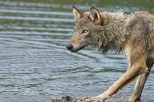 Minnesota, Sandstone, Minnesota Wildlife Connection. Grey Wolf on Log by Rona Schwarz