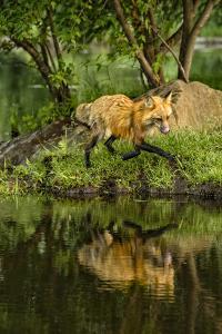 Minnesota, Sandstone, Red Fox Running Along Shoreline by Rona Schwarz