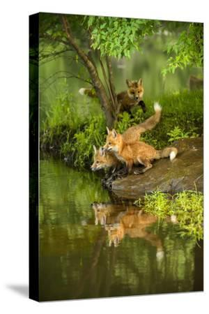 Minnesota, Sandstone, Three Red Fox Kits Gazing Intently Ahead