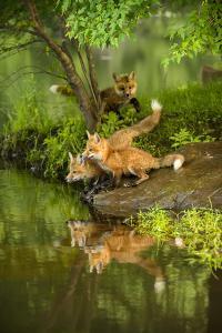 Minnesota, Sandstone, Three Red Fox Kits Gazing Intently Ahead by Rona Schwarz