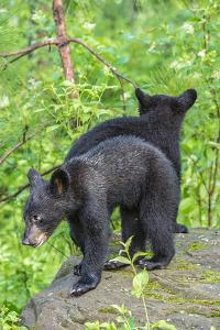 Minnesota, Sandstone, Two Black Bear Cubs Standing Back to Back by Rona Schwarz