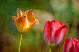 Red and Yellow Tulips on Textured Background by Rona Schwarz