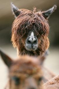 Alpaca, Llama Guanacoe F. Glama, Portrait, Series, Wildlife by Ronald Wittek