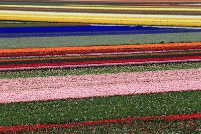 Blossoming Field of Tulips Near Alkmaar, Holland, the Netherlands, North Holland