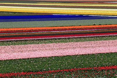 Blossoming Field of Tulips Near Alkmaar, Holland, the Netherlands, North Holland