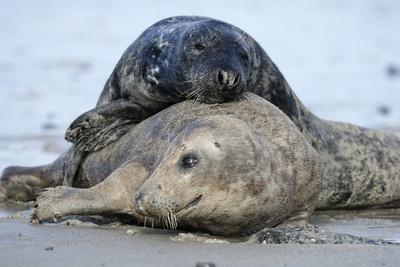Cone-Seals, Halichoerus Grypus, Sandy Beach