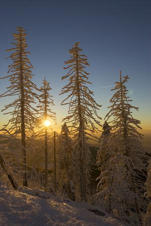 Conifers, Snow, Sunset, Back Light Mountain Forest, Forest
