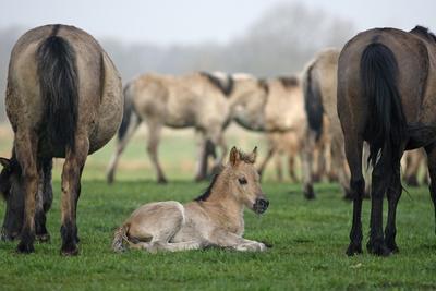 Dulmen Pony, Foals
