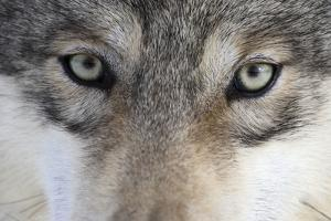 Eastern Timber Wolf, Canis Lupus Lycaon, Close-Up by Ronald Wittek