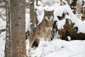 European Wolf, Canis Lupus, Bavarian Forest National Park, Bavaria, Germany, Captive by Ronald Wittek