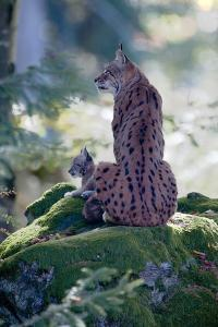 Forest, Eurasian Lynx, Lynx Lynx, Mother Animal, Watchfulness, Young Animal, Sitting, Back View by Ronald Wittek