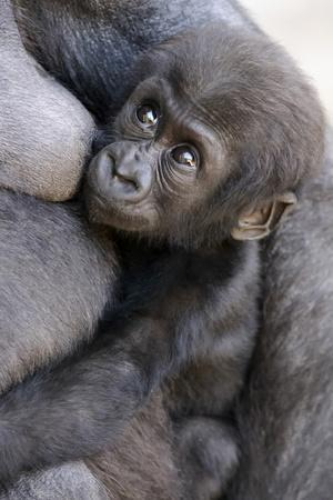 Gorilla Baby, Gorilla Mother