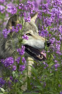 Gray-Wolf, Canis Lupus, Flower Meadow, Profile, Nature by Ronald Wittek