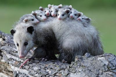North American Opossum, Didelphis Virginiana, Parental Animal, Young Animals, Hump