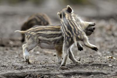 Wild Boar Shoats, Playing