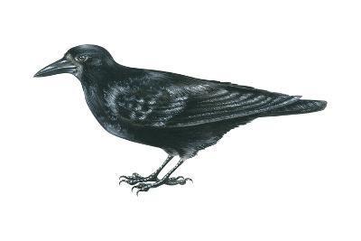 Rook (Corvus Frugilegus), Birds-Encyclopaedia Britannica-Art Print