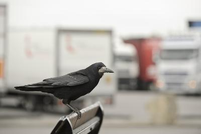 Rook (Corvus Frugilegus) Perched in Motorway Service Area, Midlands, UK, April-Terry Whittaker-Photographic Print