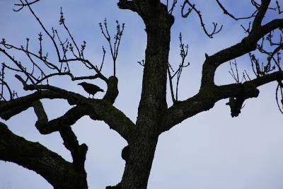 Rook Perching on a Bare Tree, Silhouette-Uwe Steffens-Photographic Print
