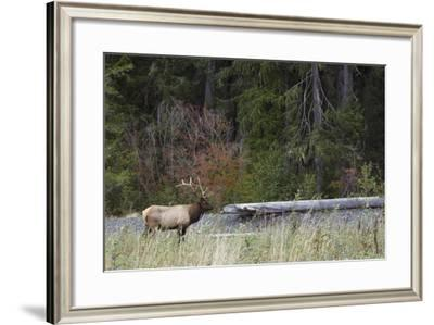 Roosevelt Bull Elk-Ken Archer-Framed Photographic Print