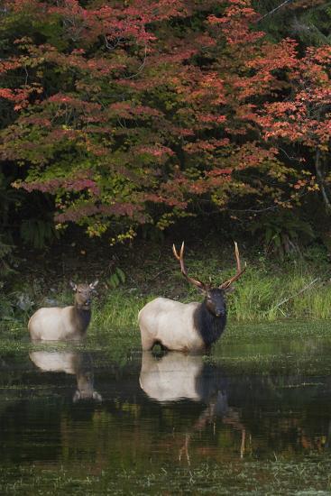 Roosevelt Elk, Bull and Cow-Ken Archer-Photographic Print
